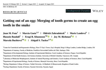 Getting out of an egg: Merging of tooth germs to create an egg tooth in the snake