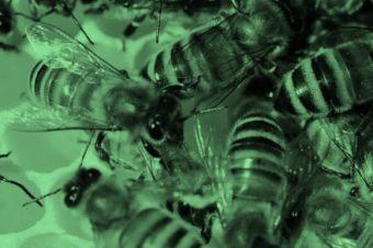 Zdraví a imunita včel II.