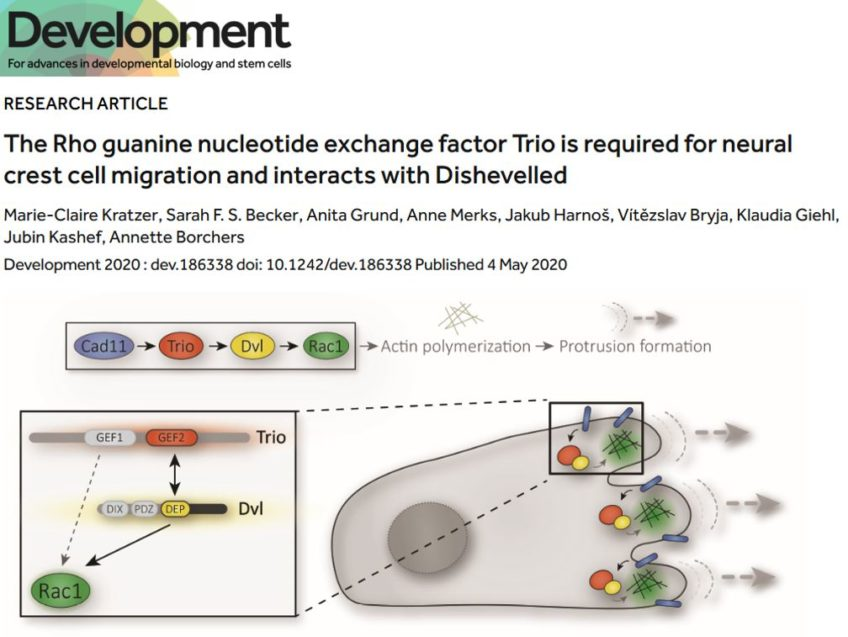 The Rho guanine nucleotide exchange factor Trio is required for neural crest cell migration and interacts with Dishevelled