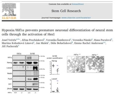 Hypoxia/Hif1α Prevents Premature Neuronal Differentiation of Neural Stem Cells Through the Activation of Hes1