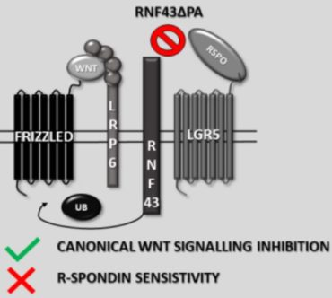 Protease Associated Domain of RNF43 Is Not Necessary for the Suppression of Wnt/β-catenin Signaling in Human Cells