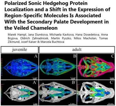 Polarized Sonic Hedgehog Protein Localization and a Shift in the Expression of Region-Specific Molecules Is Associated With the Secondary Palate Development in the Veiled Chameleon