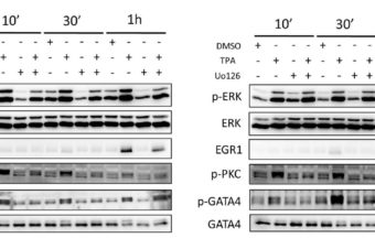 12-O-Tetradecanoylphorbol-13-acetate increases cardiomyogenesis through PKC/ERK signaling
