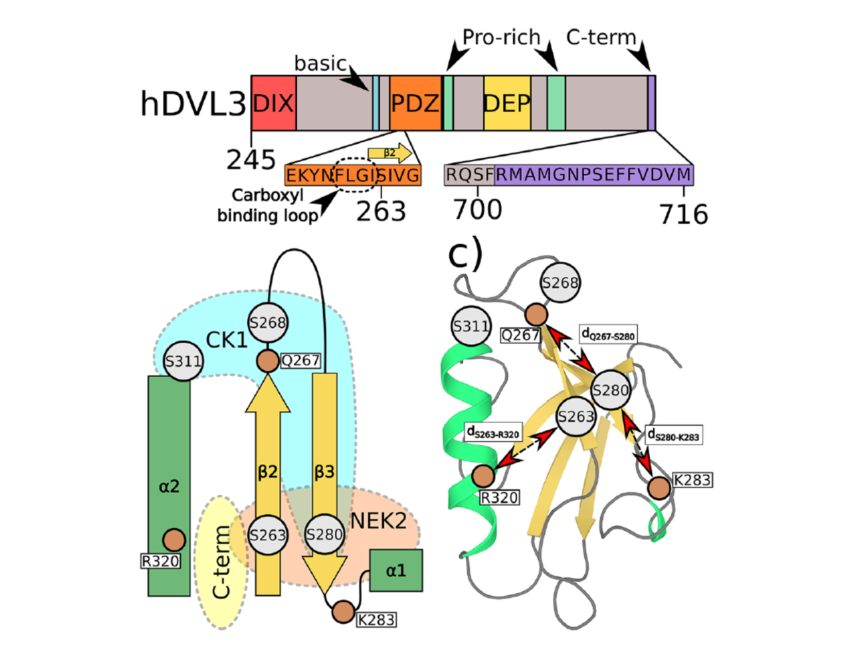 Phosphorylation-induced changes in the PDZ domain of Dishevelled 3