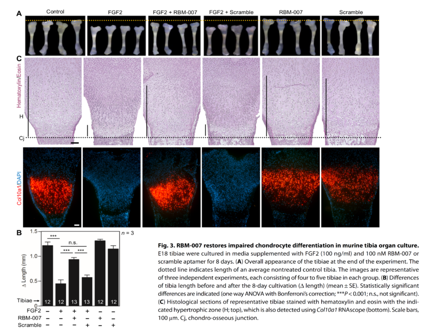 An RNA aptamer restores defective bone growth in FGFR3-related skeletal dysplasia in mice