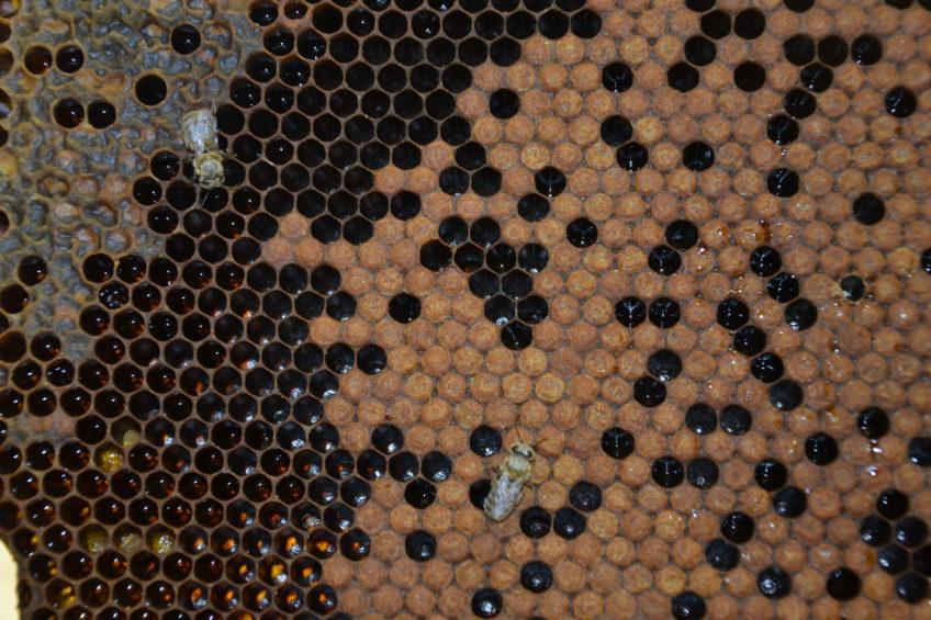 Studium varoázy na experimentálních včelstvech