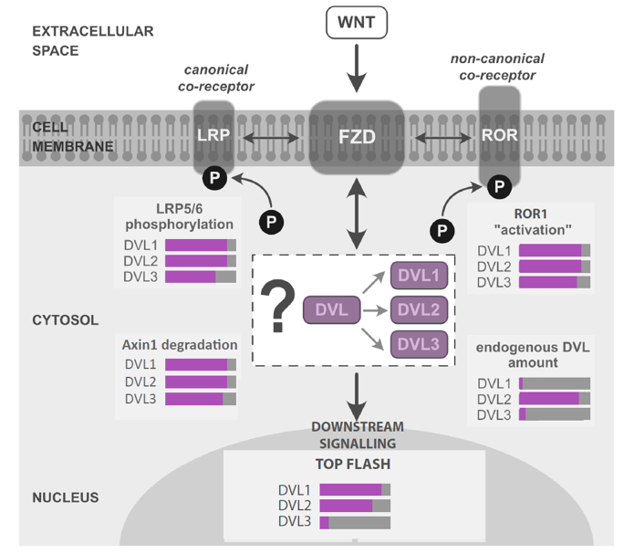 Roles of individual human Dishevelled paralogs in the Wnt signalling pathways