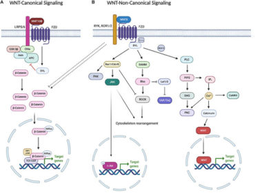 WNT5B in Physiology and Disease