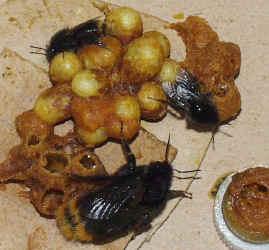 B soroeensis mlade hnizdo.jpg (305860 bytes)