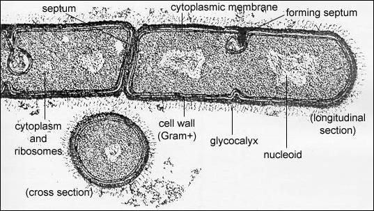 Bacillus Megaterium 100X