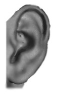 pointed antitragus